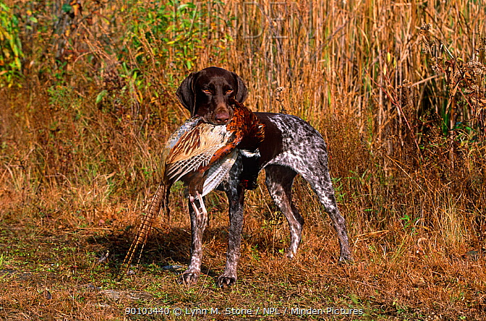 Domestic dog, German short-haired pointer retrieving a dead male Ring-necked pheasant, Connecticut, USA  -  Lynn M. Stone/ npl