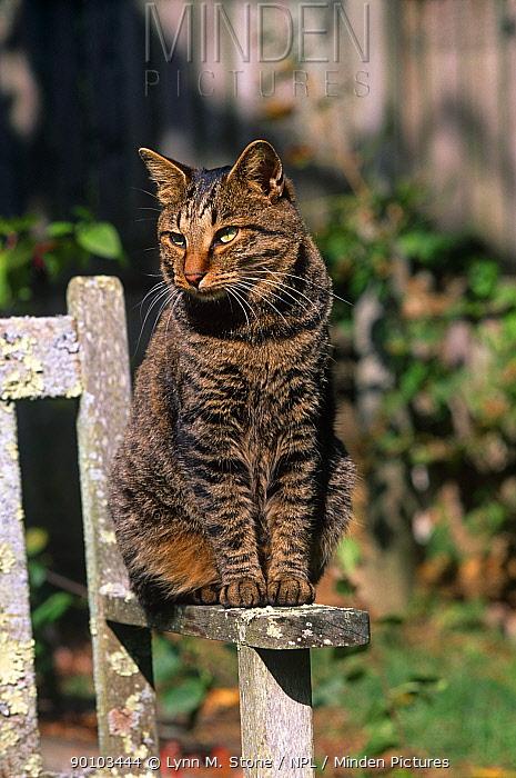 Domestic cat, Kurile Island bobtail cat sitting in sun on garden bench, Connecticut, USA  -  Lynn M. Stone/ npl