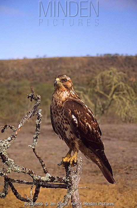 Galapagos hawk (Buteo galapagoensis) perched, Galapagos  -  Jim Clare/ npl