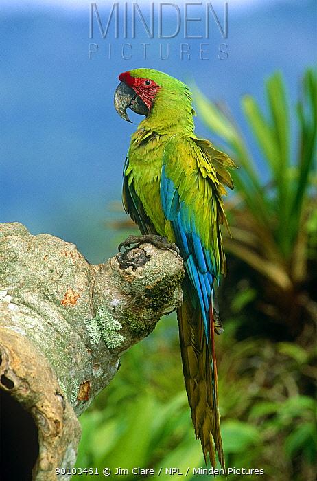 Buffon's, Great green macaw (Ara ambigua) perched on Almendro tree, Costa Rica  -  Jim Clare/ npl