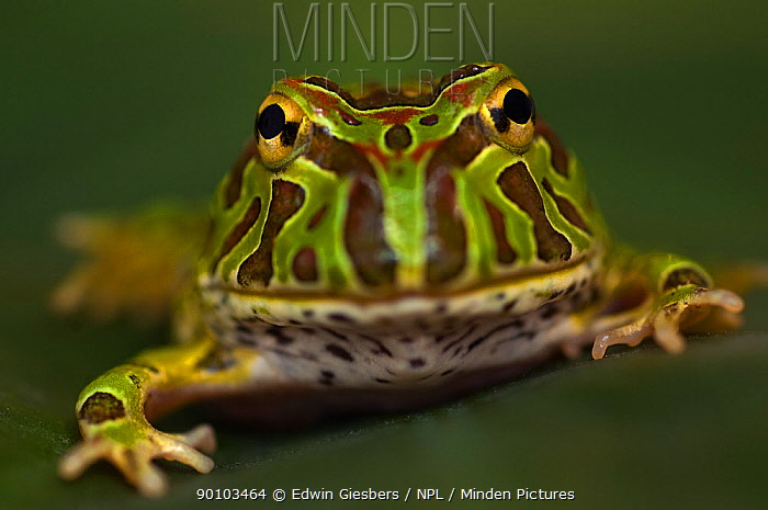 Chacoan horned frog (Ceratophrys cranwelli) captive, from South America  -  Edwin Giesbers/ npl