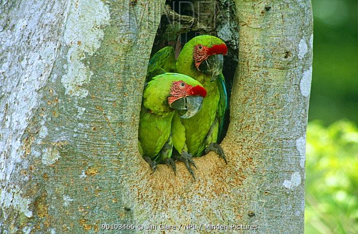 Buffon's, Great green macaw (Ara ambigua) adult pair in nest hole in Almendro tree, Costa Rica  -  Jim Clare/ npl