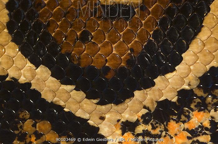 Close up of scales and skin pattern of Boa constrictor (Constrictor constrictor) captive, from South America  -  Edwin Giesbers/ npl