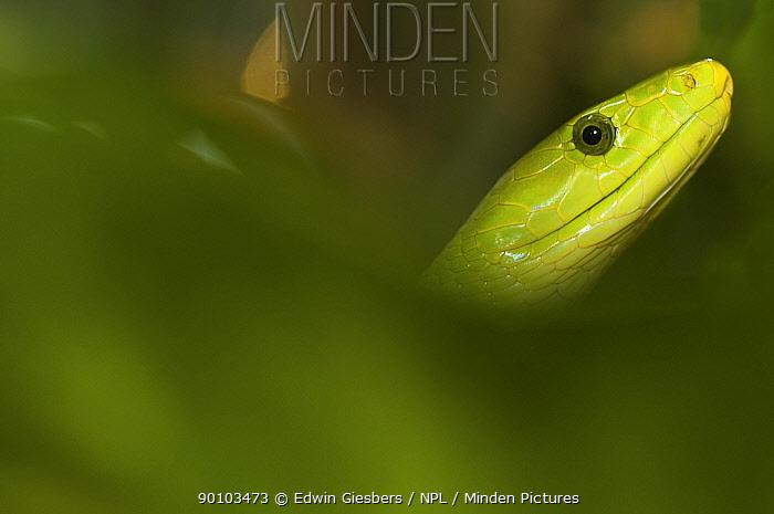 Eastern green mamba (Dendroaspis angusticeps) head portrait, captive, from East Africa  -  Edwin Giesbers/ npl