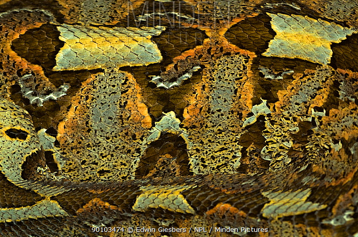 Rhinoceros viper, adder (Bitis nasicornis) showing camouflage nature of skin pattern, captive, from Africa  -  Edwin Giesbers/ npl