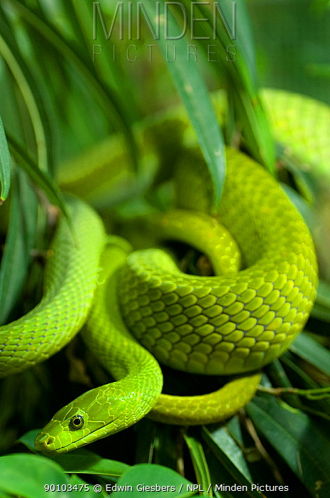 Eastern green mamba (Dendroaspis angusticeps) coiled in vegetation, captive, from East Africa  -  Edwin Giesbers/ npl