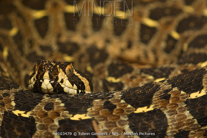 Lowland Swamp Viper (Proatheris superciliaris) captive, from swampy grasslands of SE Africa;  -  Edwin Giesbers/ npl