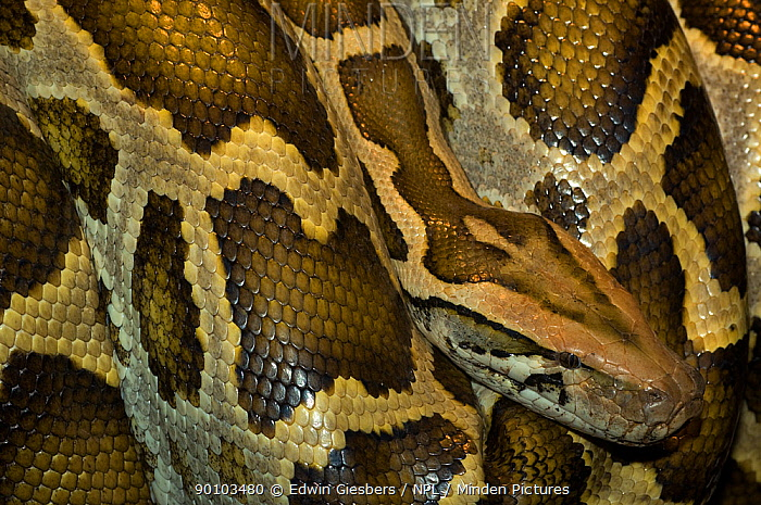 Burmese Python (Python molurus bivittatus) close-up of head and skin pattern, captive, from Asia  -  Edwin Giesbers/ npl