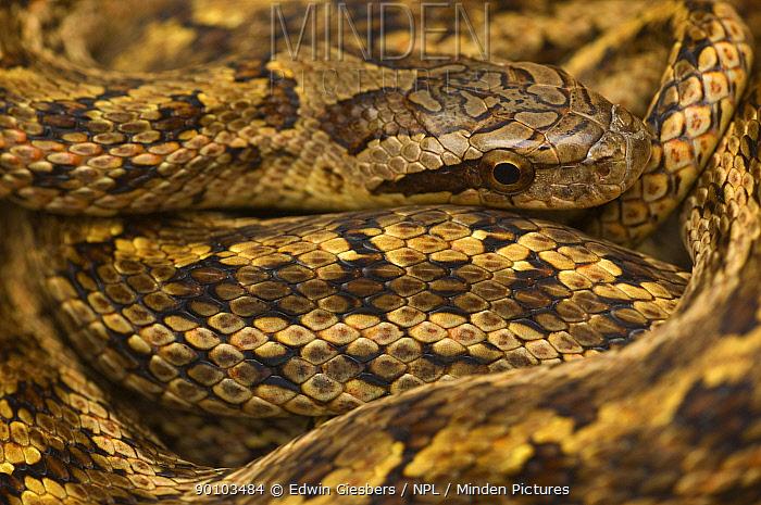 Great Plains Rat Snake, Corn snake (Elaphe guttata emoryi) skin pattern, captive, from USA  -  Edwin Giesbers/ npl