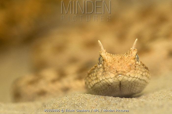 Horned viper (Cerastes cerastes) head portrait on sand, from North Africa, captive  -  Edwin Giesbers/ npl
