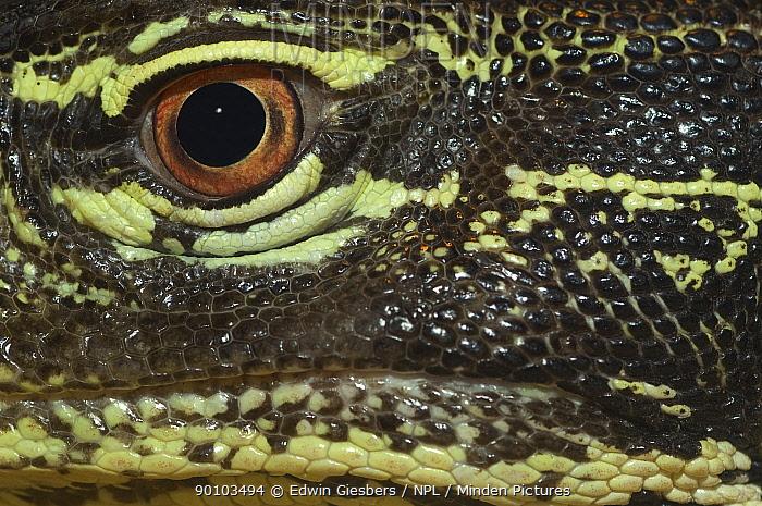 Close up of eye of Gould's, Sand monitor (Varanus gouldii) captive  -  Edwin Giesbers/ npl