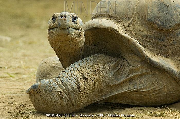 Galapagos giant tortoise (Geochelone elephantopus) captive, from the Galapagos islands  -  Edwin Giesbers/ npl