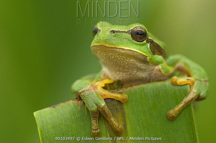 Common tree frog (Hyla arborea) portrait, the Netherlands  -  Edwin Giesbers/ npl