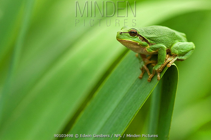 Common tree frog (Hyla arborea) camouflaged on vegetation, the Netherlands  -  Edwin Giesbers/ npl