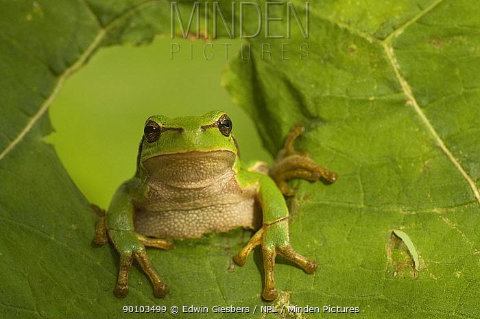 Common tree frog (Hyla arborea) climbing through hole in leaf, the Netherlands  -  Edwin Giesbers/ npl