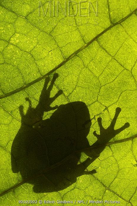 Common tree frog (Hyla arborea) silhouette viewed through leaf, the Netherlands  -  Edwin Giesbers/ npl