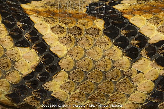 Canebrake Rattlesnake (Crotalus horridus atricaudatus) captive, detail of skin, from SE Asia  -  Edwin Giesbers/ npl