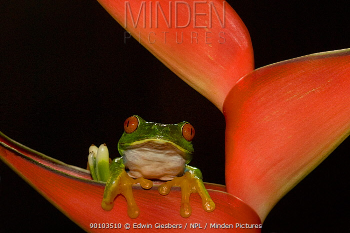 Red eyed Tree Frog (Agalychnis callidryas) on Bromeliad, Costa Rica  -  Edwin Giesbers/ npl