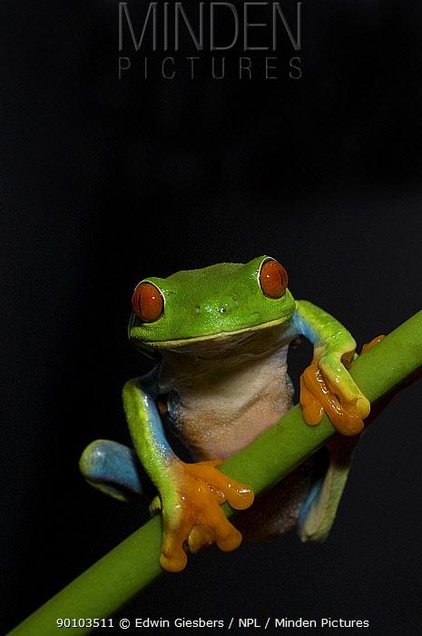 Red eyed Tree Frog (Agalychnis callidryas) on vegetation, Costa Rica  -  Edwin Giesbers/ npl