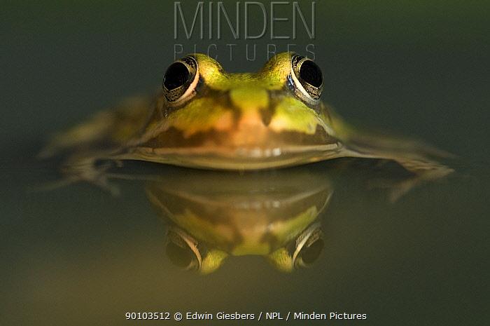 Green, European edible frog (Rana esculenta) in water, the Netherlands  -  Edwin Giesbers/ npl