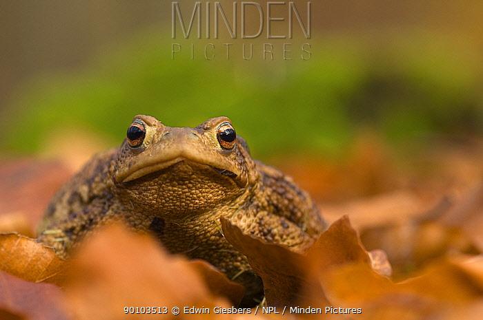 Common european toad (Bufo bufo) amongst leaf litter, the Netherlands  -  Edwin Giesbers/ npl
