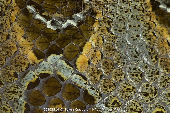 Rhinoceros viper, adder (Bitis nasicornis) skin detail, captive, from Africa  -  Edwin Giesbers/ npl