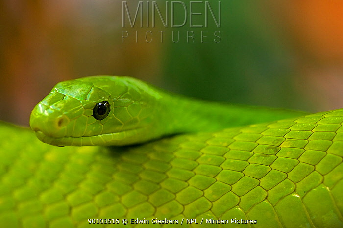 Eastern green mamba (Dendroaspis angusticeps) captive, from East Africa  -  Edwin Giesbers/ npl