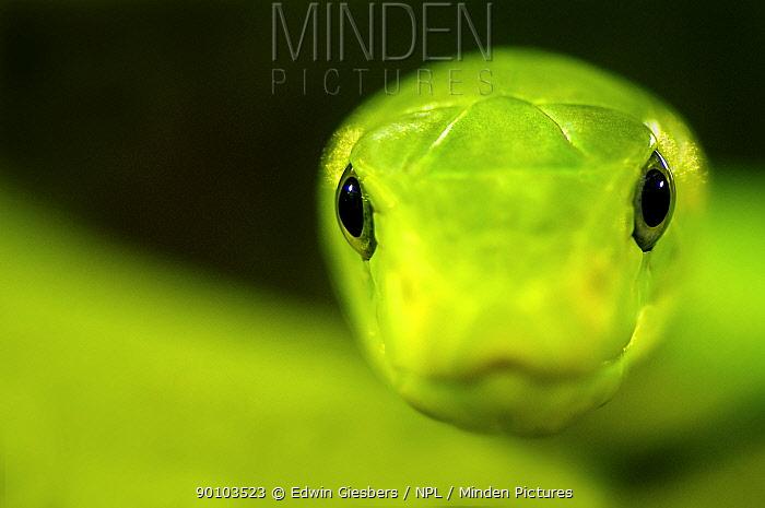 Eastern green mamba (Dendroaspis angusticeps) head portrait, captive, from East Africa;  -  Edwin Giesbers/ npl