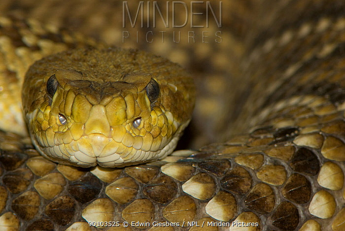 Western diamondback rattlesnake (Crotalus atrox) captive, from Texas, USA  -  Edwin Giesbers/ npl