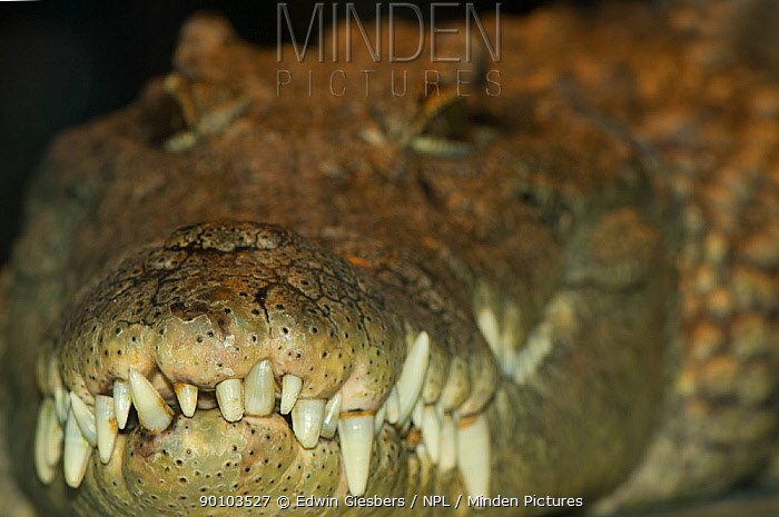 Nile crocodile (Crocodylus niloticus) close up of interlocking teeth, captive, from Africa  -  Edwin Giesbers/ npl