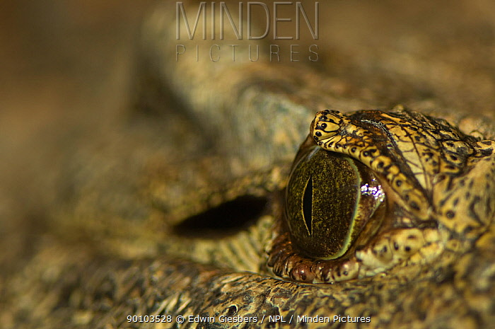 Nile crocodile (Crocodylus niloticus) close up of eye, captive, from Africa  -  Edwin Giesbers/ npl