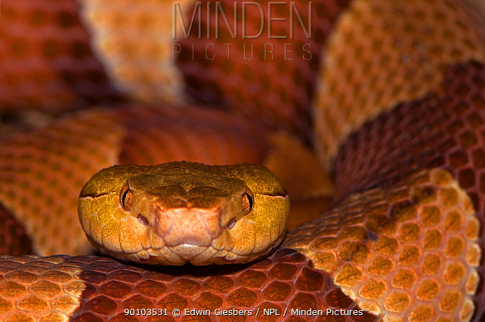 Copperhead snake (Agkistrodon contortrix) captive, from USA  -  Edwin Giesbers/ npl
