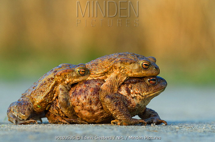 Common european toad (Bufo bufo) two males attempting to mate with one female, the Netherlands  -  Edwin Giesbers/ npl