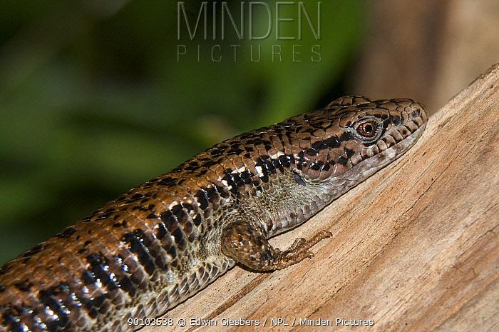 Southern alligator lizard (Elgaria multicarinata) captive, from USA  -  Edwin Giesbers/ npl