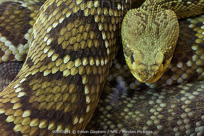 Western diamondback rattlesnake (Crotalus atrox) captive, from Texas; USA;  -  Edwin Giesbers/ npl