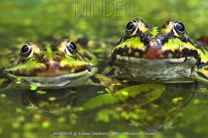 European edible frog (Rana esculenta) amongst duckweed, the Netherlands  -  Edwin Giesbers/ npl