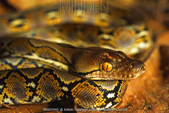 Reticulated python (Python reticulatus) resting on jungle floor, Tanjung Puting National Park, Borneo, Kalimantan  -  Edwin Giesbers/ npl