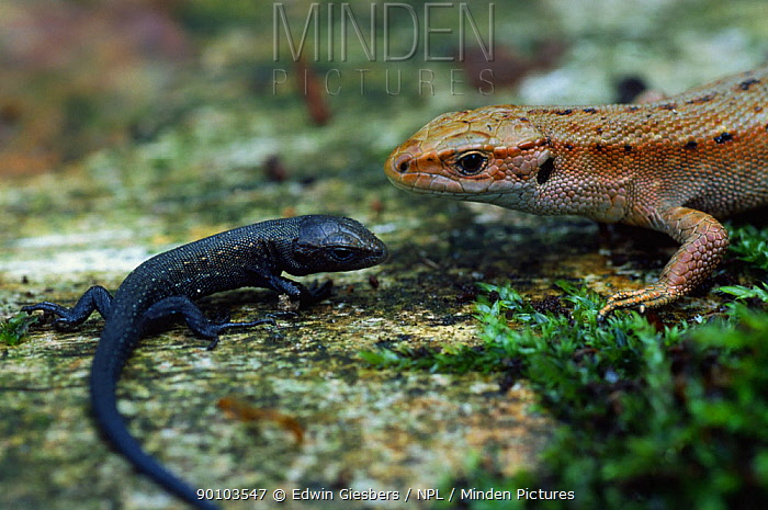 Viviparous lizard (Lacerta vivipara) female with young, National park de Hoge Veluwe, the Netherlands  -  Edwin Giesbers/ npl