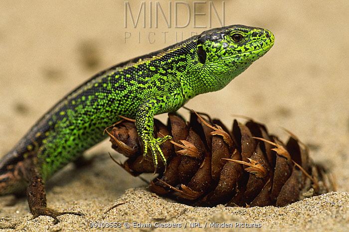 Sand lizard (Lacerta agilis) male in breeding colours, the Netherlands  -  Edwin Giesbers/ npl