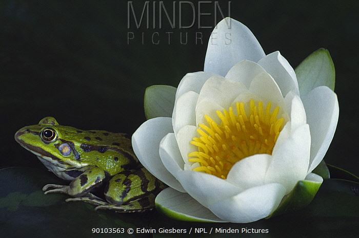 European edible frog (Rana esculenta) beside Water Lily flower (Nymphaea alba) the Netherlands  -  Edwin Giesbers/ npl