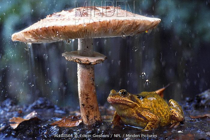 Common frog (Rana temporaria) sheltering from rain under toadstool (Macrolepiota procera) the Netherlands  -  Edwin Giesbers/ npl