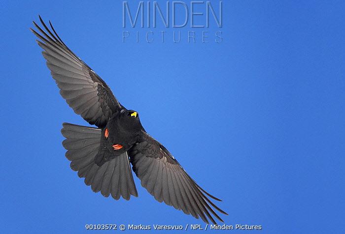 Alpine cough (Pyrrhocorax gracilis) in flight, Morocco, February  -  Markus Varesvuo/ npl