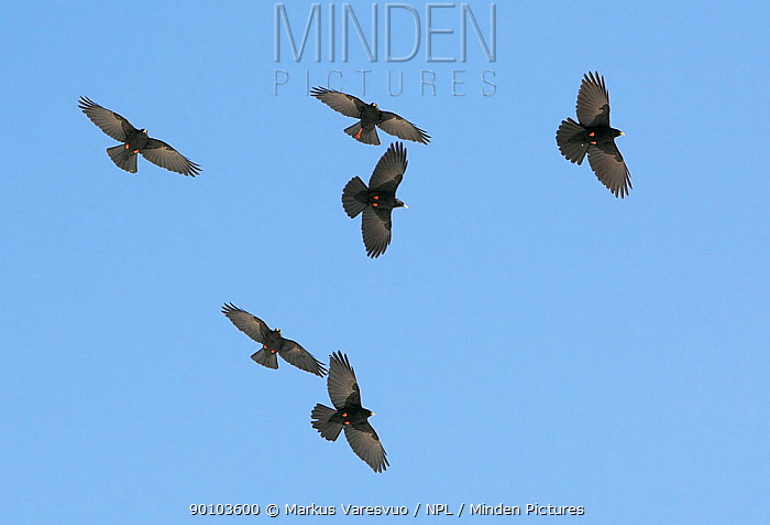 Alpine chough (Pyrrhocorax graculus) flock in flight, Morocco, February  -  Markus Varesvuo/ npl