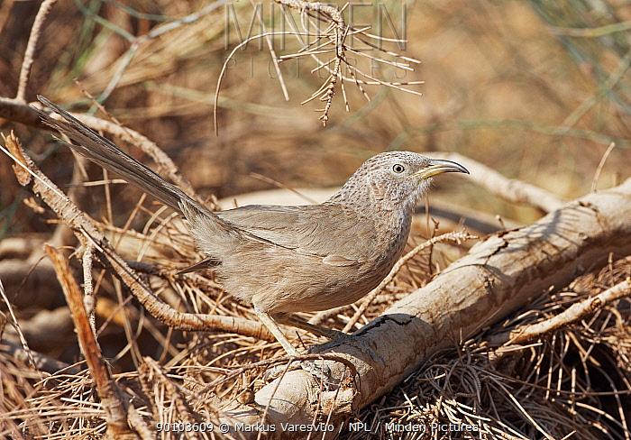 Arabian babbler (Turdoides squamiceps) perched on ground, Israel, May  -  Markus Varesvuo/ npl