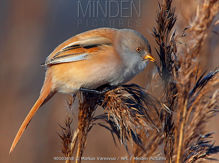 Bearded reedling (Panurus biarmicus) female feeding in reeds, Espoo, Finland, February  -  Markus Varesvuo/ npl