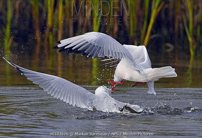 Black-headed gull (Larus ridibundus) flying and fighting on water, Sweden, September  -  Markus Varesvuo/ npl