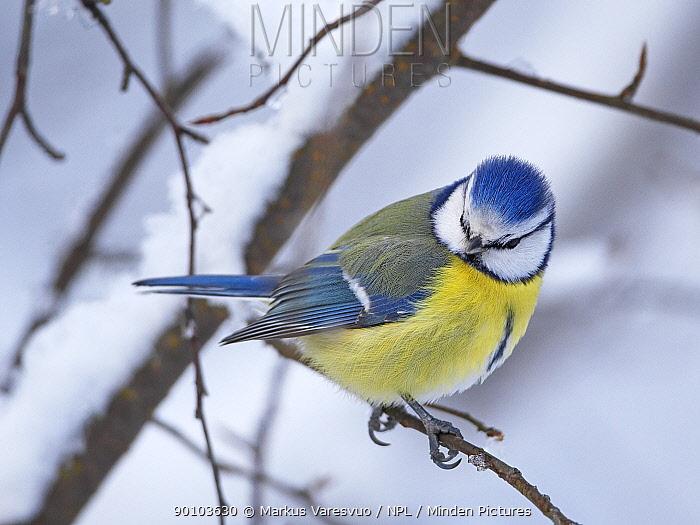 Blue tit (Parus caereleus) perched in snow, Kotka, Finland, January  -  Markus Varesvuo/ npl