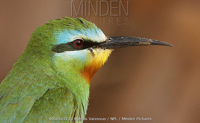 Blue-cheeked bee-eater (Merops persicus) Israel, May  -  Markus Varesvuo/ npl
