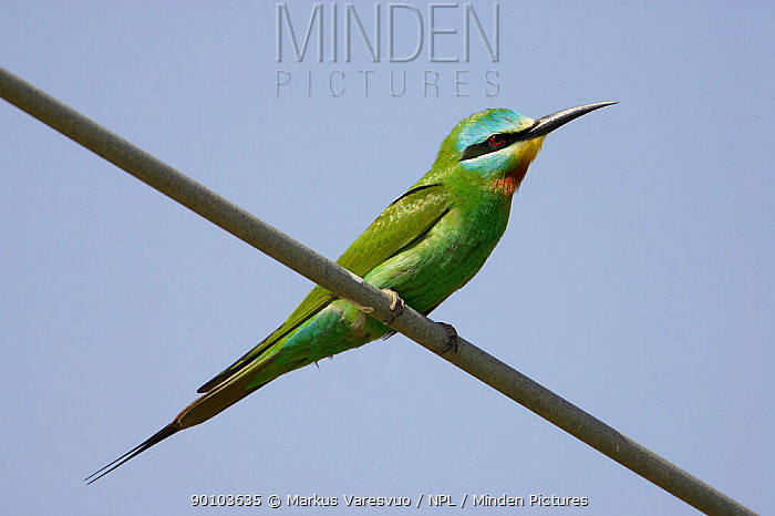 Blue-cheeked bee-eater (Merops persicus) perched on wire, Sultanate of Oman, March  -  Markus Varesvuo/ npl