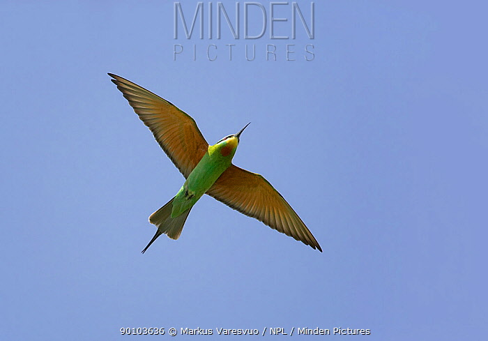 Blue-cheeked bee-eater (Merops persicus) in flight, Sultanate of Oman, March  -  Markus Varesvuo/ npl